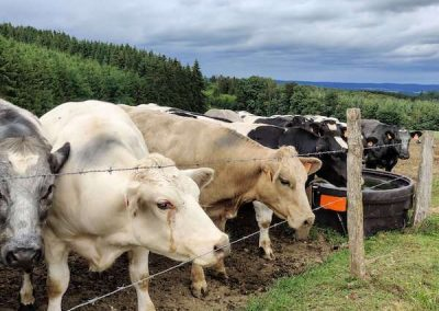 nieuwsgierig koeien in de Ardennen met in de verte een dreigende lucht