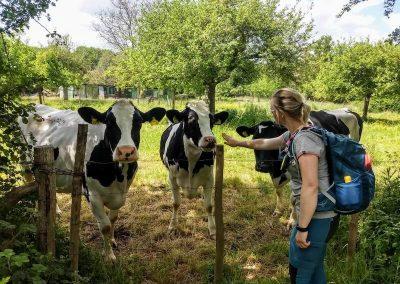 Koeien in de wei komen nieuwsgierig kijken